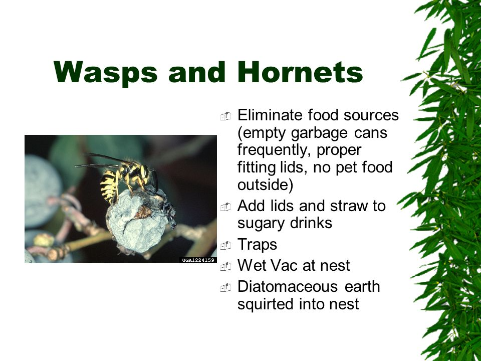Wasps and Hornets  Eliminate food sources (empty garbage cans frequently, proper fitting lids, no pet food outside)  Add lids and straw to sugary drinks  Traps  Wet Vac at nest  Diatomaceous earth squirted into nest