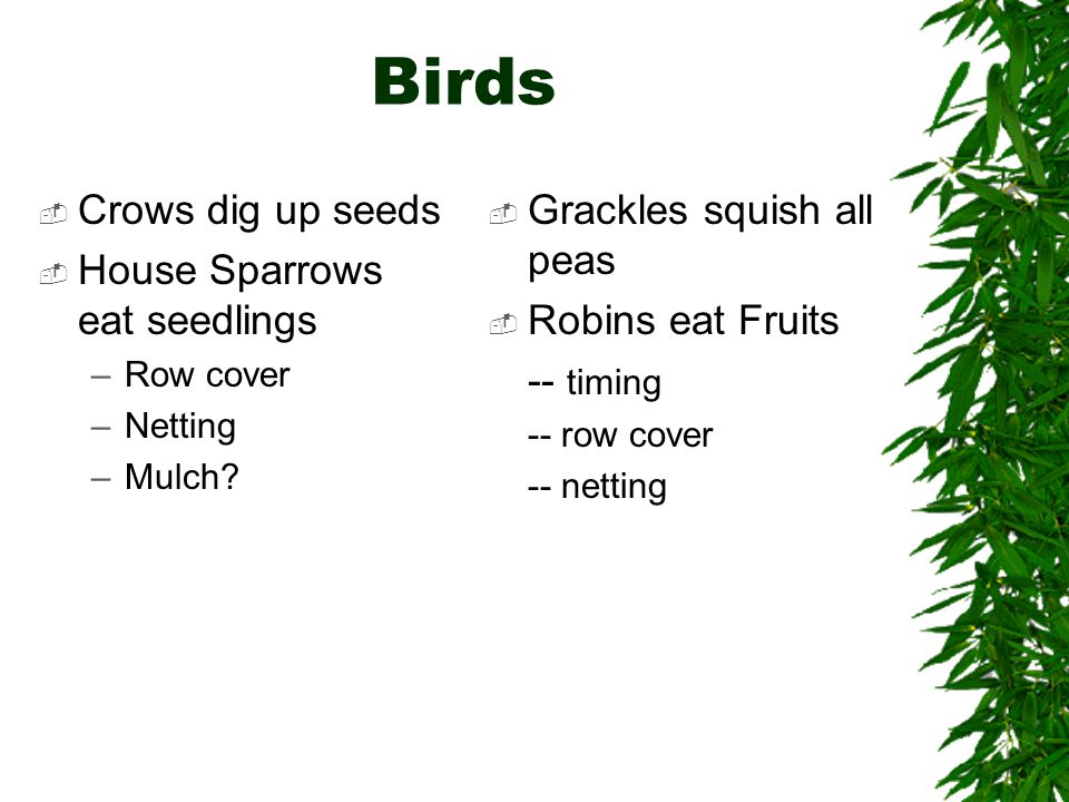 Birds  Crows dig up seeds  House Sparrows eat seedlings –Row cover –Netting –Mulch.