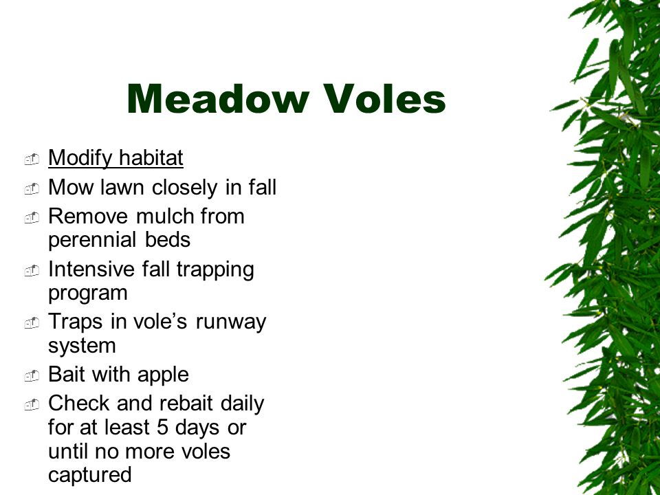 Meadow Voles  Modify habitat  Mow lawn closely in fall  Remove mulch from perennial beds  Intensive fall trapping program  Traps in vole's runway system  Bait with apple  Check and rebait daily for at least 5 days or until no more voles captured