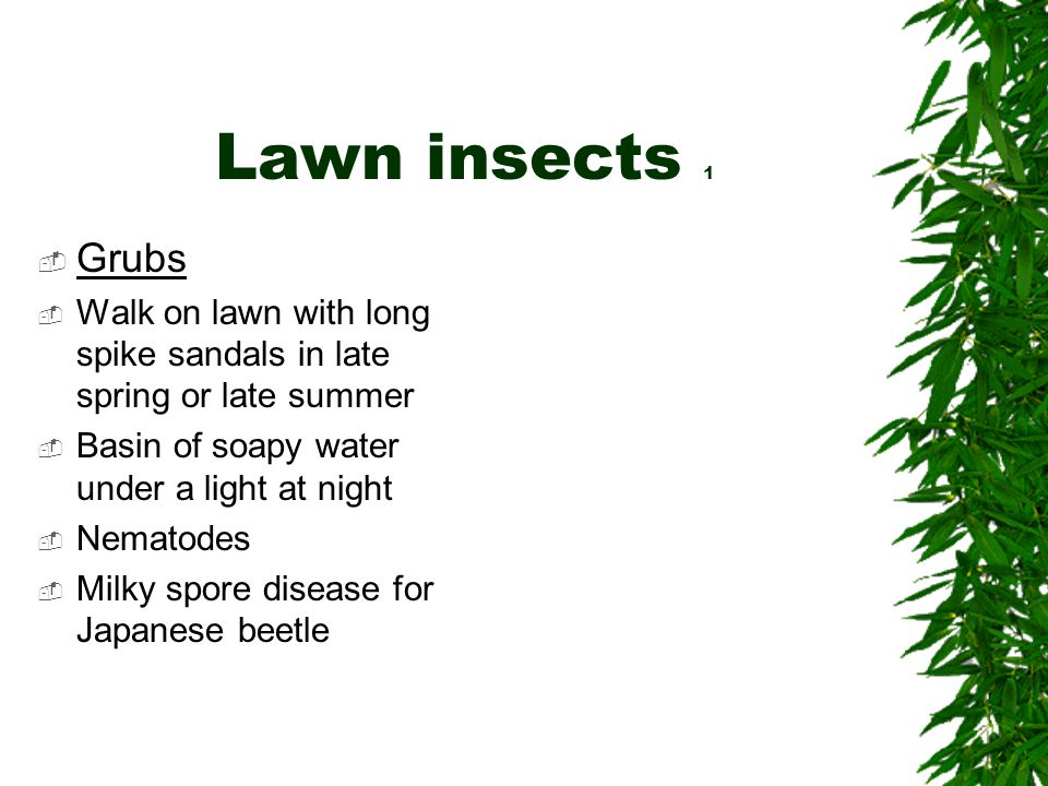 Lawn insects 1  Grubs  Walk on lawn with long spike sandals in late spring or late summer  Basin of soapy water under a light at night  Nematodes  Milky spore disease for Japanese beetle