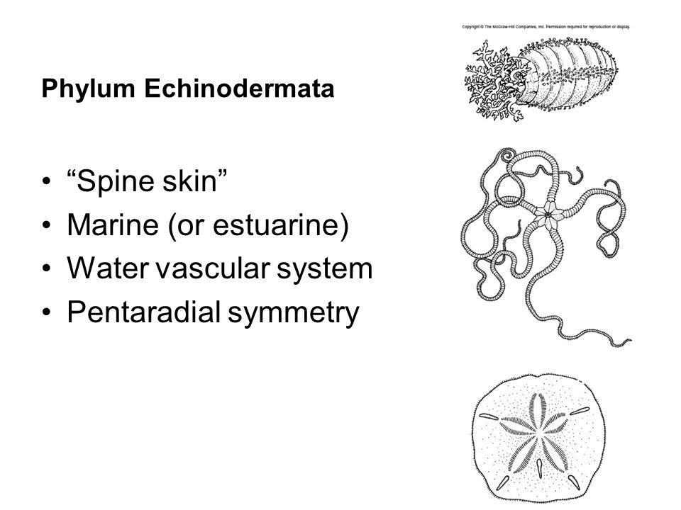 Phylum Echinodermata Spine skin Marine (or estuarine) Water vascular system Pentaradial symmetry