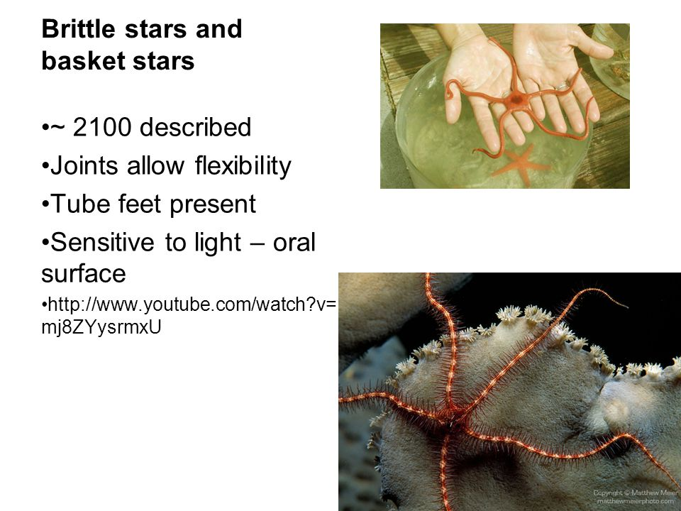 Brittle stars and basket stars ~ 2100 described Joints allow flexibility Tube feet present Sensitive to light – oral surface http://www.youtube.com/wa