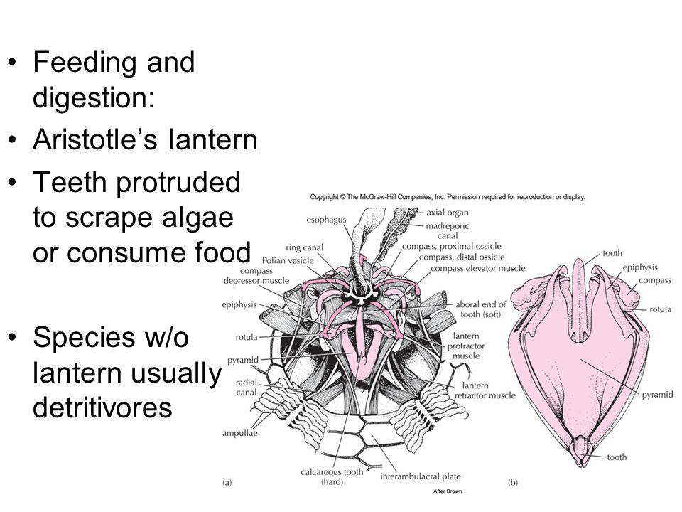 Feeding and digestion: Aristotle's lantern Teeth protruded to scrape algae or consume food Species w/o lantern usually detritivores