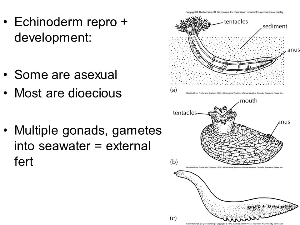 Echinoderm repro + development: Some are asexual Most are dioecious Multiple gonads, gametes into seawater = external fert