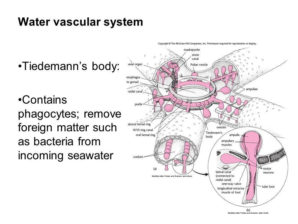 Water vascular system Tiedemann's body: Contains phagocytes; remove foreign matter such as bacteria from incoming seawater