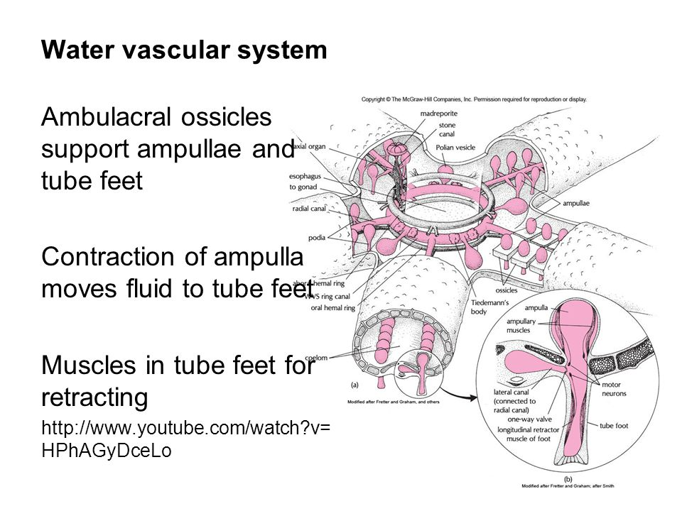 Water vascular system Ambulacral ossicles support ampullae and tube feet Contraction of ampulla moves fluid to tube feet Muscles in tube feet for retracting http://www.youtube.com/watch v= HPhAGyDceLo