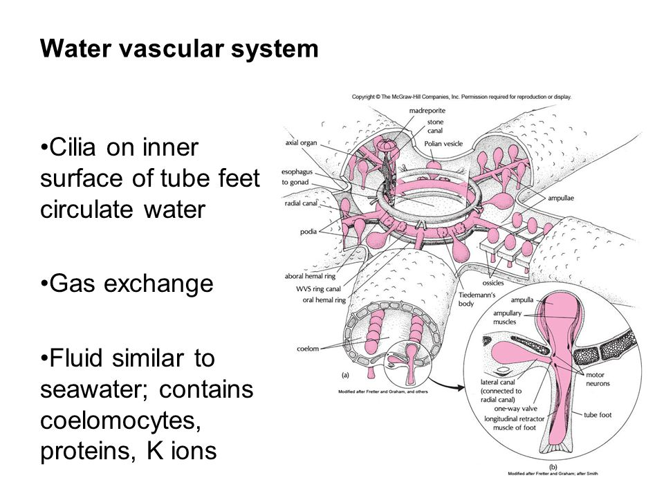 Water vascular system Cilia on inner surface of tube feet circulate water Gas exchange Fluid similar to seawater; contains coelomocytes, proteins, K i