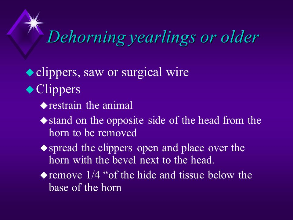Dehorning yearlings or older u clippers, saw or surgical wire u Clippers u restrain the animal u stand on the opposite side of the head from the horn to be removed u spread the clippers open and place over the horn with the bevel next to the head.