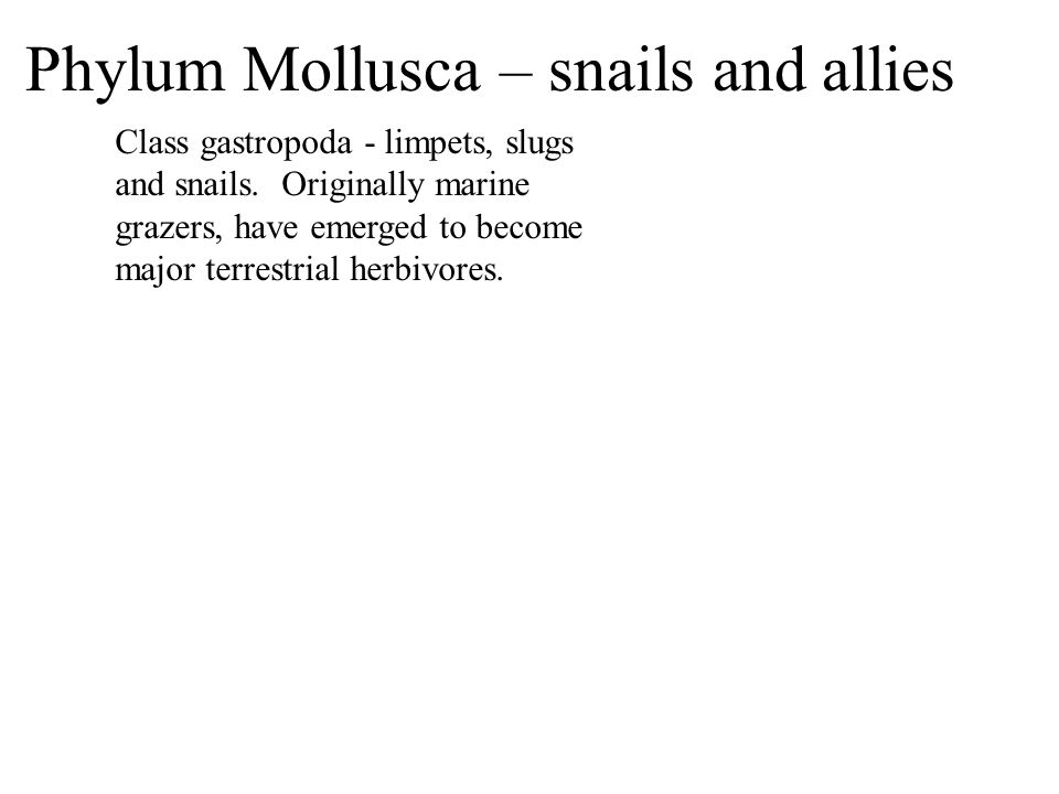 Class gastropoda - limpets, slugs and snails. Originally marine grazers, have emerged to become major terrestrial herbivores. Phylum Mollusca – snails