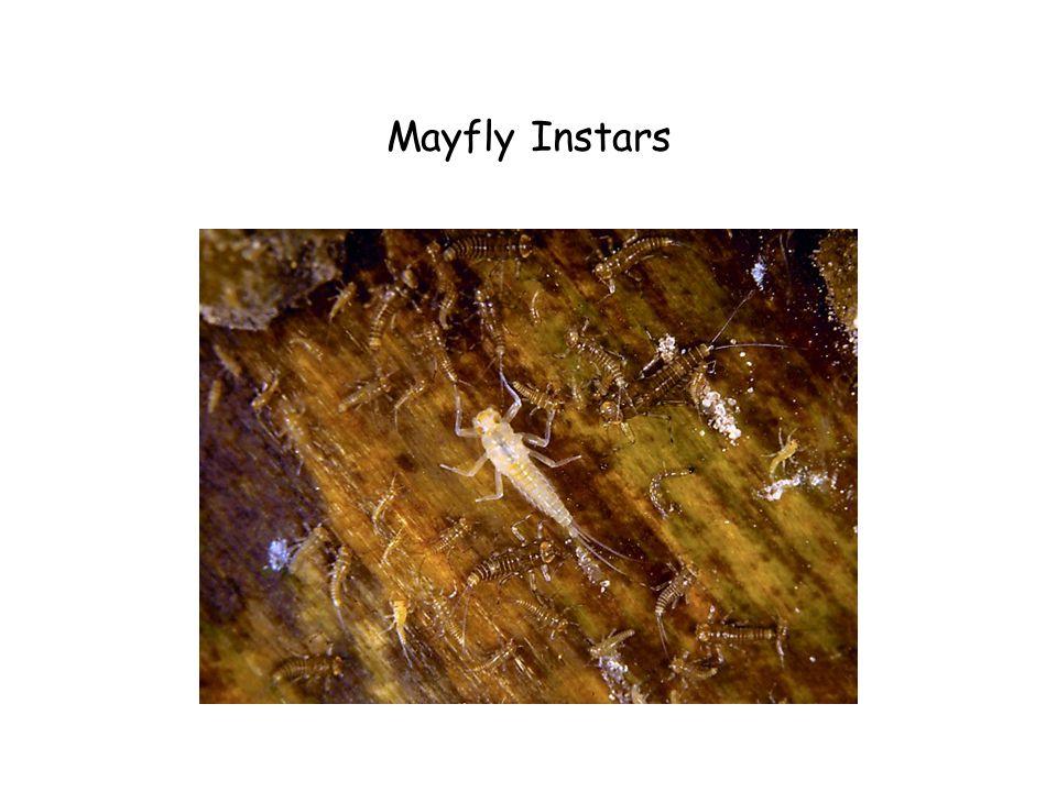 Mayfly Instars