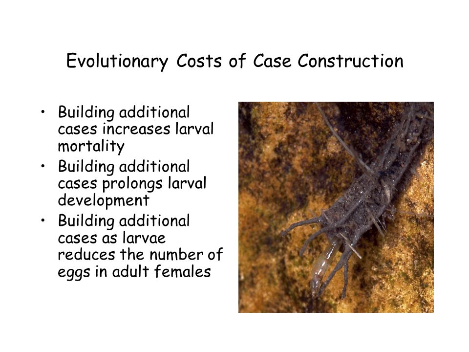Evolutionary Costs of Case Construction Building additional cases increases larval mortality Building additional cases prolongs larval development Building additional cases as larvae reduces the number of eggs in adult females