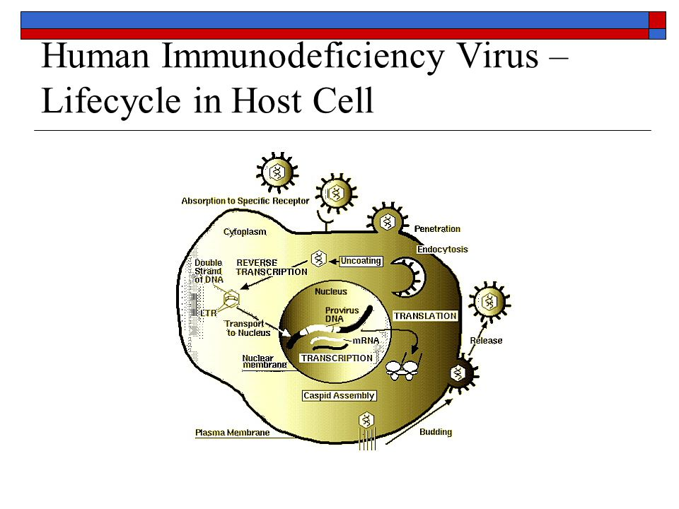Human Immunodeficiency Virus – Lifecycle in Host Cell