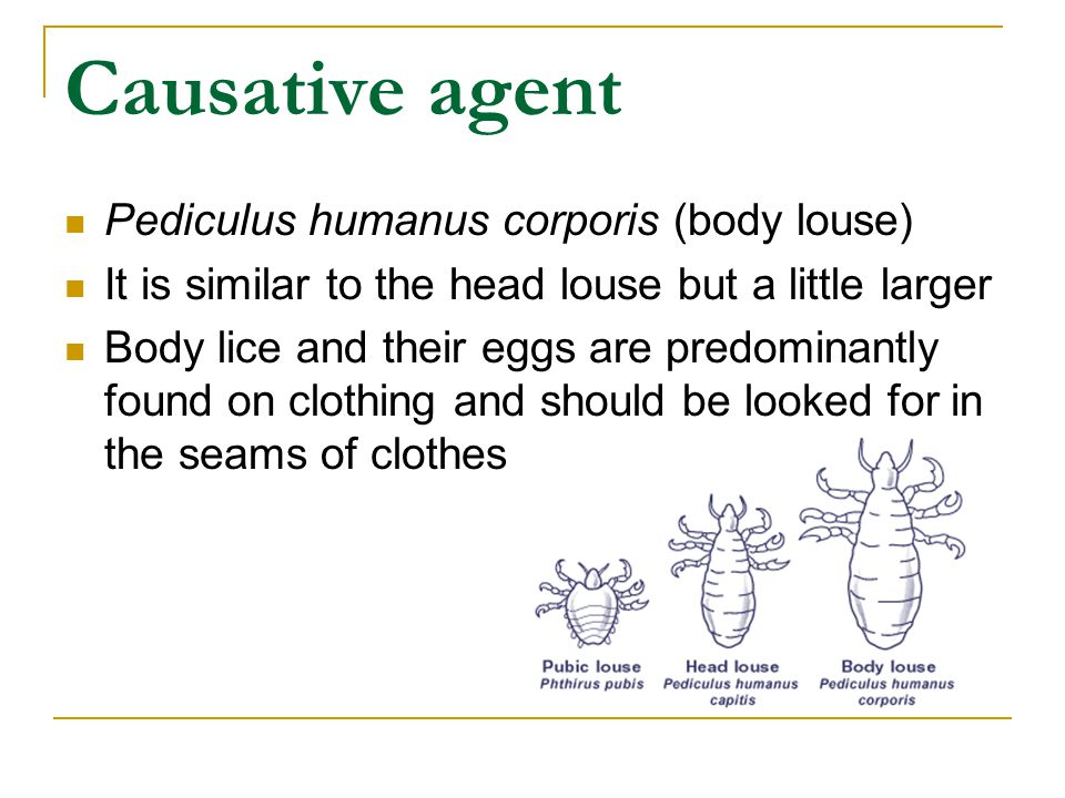 Causative agent Pediculus humanus corporis (body louse) It is similar to the head louse but a little larger Body lice and their eggs are predominantly