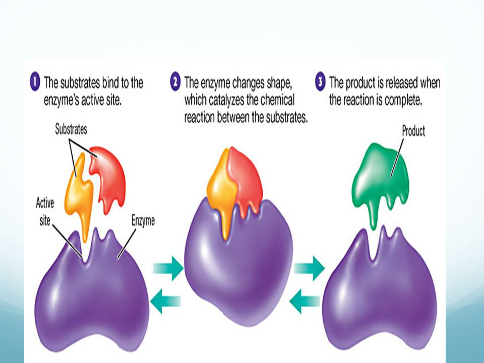 19 Enzyme-Substrate Complex This is the product of the substrate and the enzyme together. Enzyme Substrate Joins