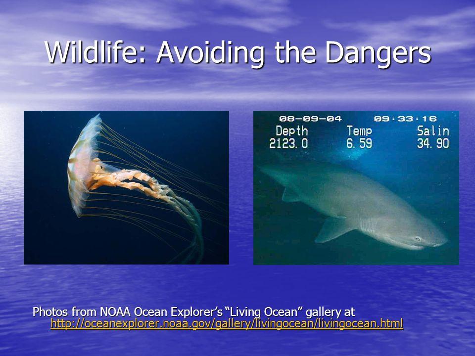 Wildlife: Avoiding the Dangers Photos from NOAA Ocean Explorer's Living Ocean gallery at http://oceanexplorer.noaa.gov/gallery/livingocean/livingocean.html http://oceanexplorer.noaa.gov/gallery/livingocean/livingocean.html