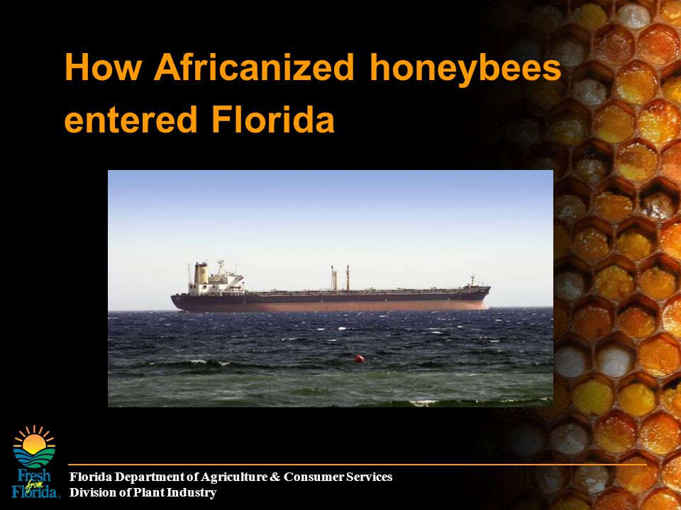 Florida Department of Agriculture & Consumer Services Division of Plant Industry The Truth About Africanized Honey Bees Africanized honey bees (AHB) are the same species as European honey bees (EHB).