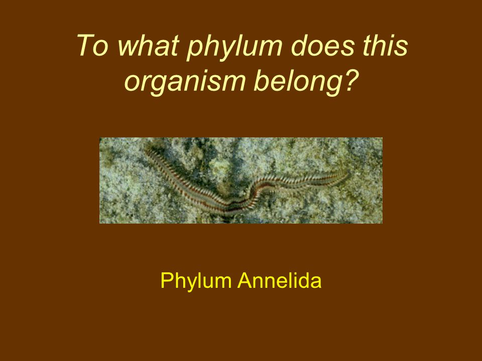 To what phylum does this organism belong? Phylum Annelida