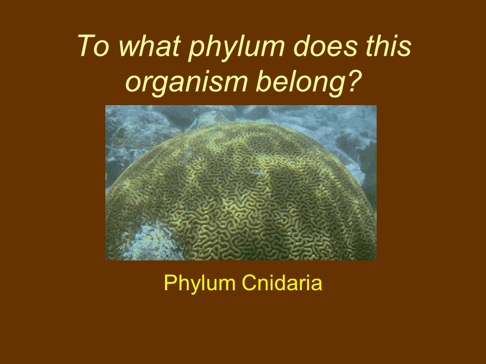 To what phylum does this organism belong? Phylum Cnidaria