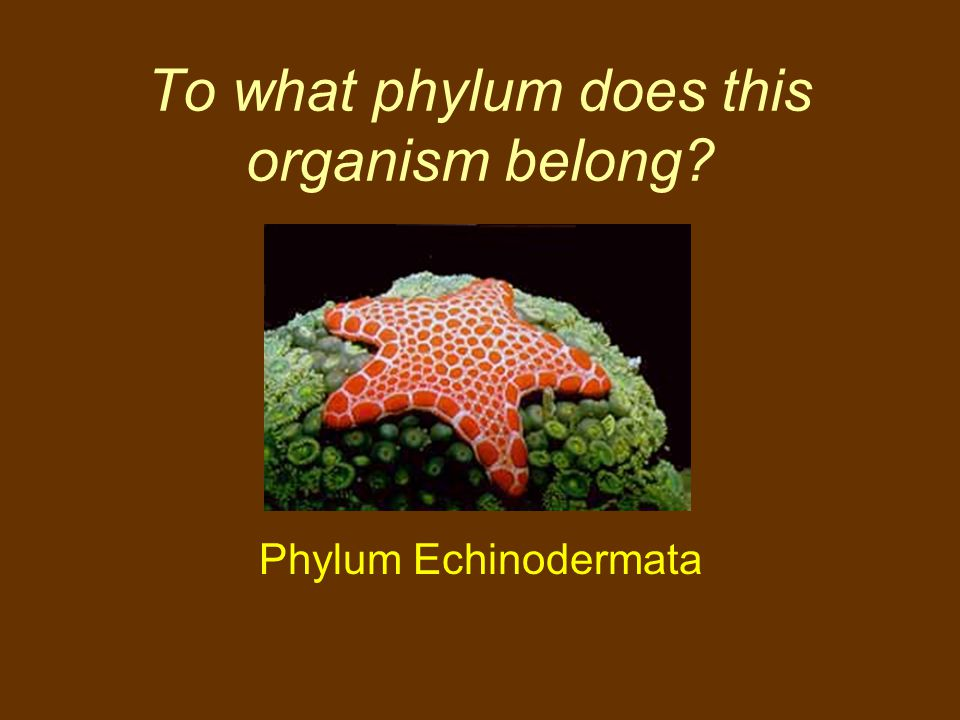 To what phylum does this organism belong? Phylum Echinodermata