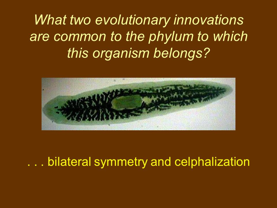 What two evolutionary innovations are common to the phylum to which this organism belongs?... bilateral symmetry and celphalization