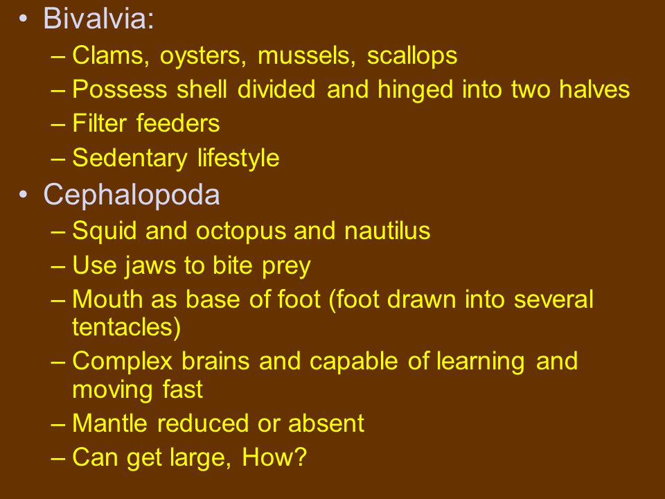 Bivalvia: –Clams, oysters, mussels, scallops –Possess shell divided and hinged into two halves –Filter feeders –Sedentary lifestyle Cephalopoda –Squid