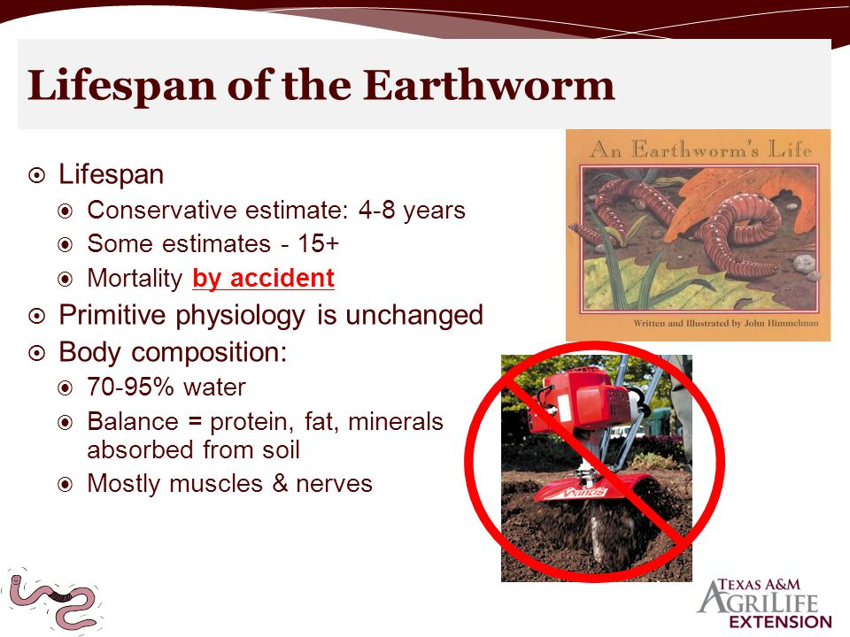 Lifespan of the Earthworm  Lifespan ◉ Conservative estimate: 4-8 years ◉ Some estimates - 15+ ◉ Mortality by accident  Primitive physiology is unchanged  Body composition: ◉ 70-95% water ◉ Balance = protein, fat, minerals absorbed from soil ◉ Mostly muscles & nerves