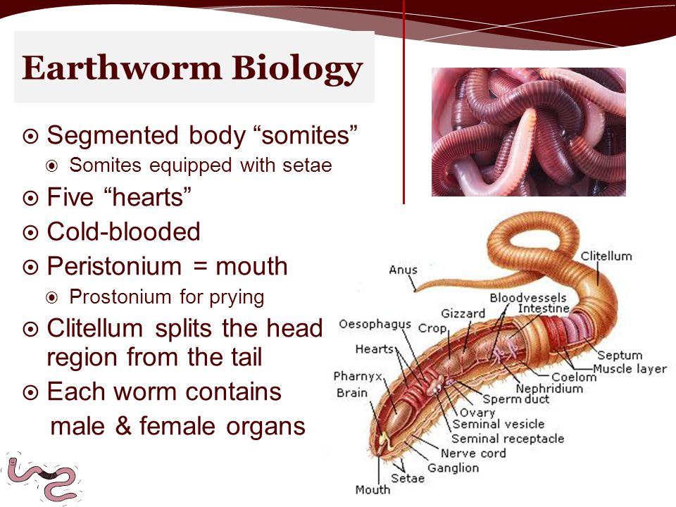 Earthworm Biology  Segmented body somites ◉ Somites equipped with setae  Five hearts  Cold-blooded  Peristonium = mouth ◉ Prostonium for prying  Clitellum splits the head region from the tail  Each worm contains male & female organs