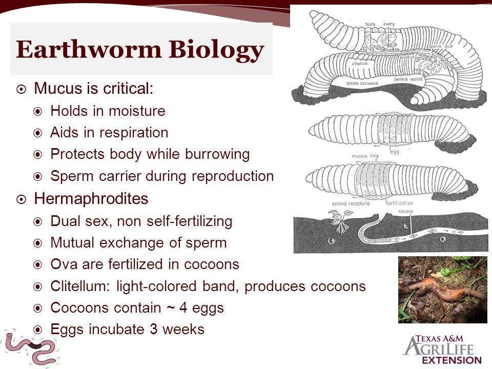  Mucus is critical: ◉ Holds in moisture ◉ Aids in respiration ◉ Protects body while burrowing ◉ Sperm carrier during reproduction  Hermaphrodites ◉ Dual sex, non self-fertilizing ◉ Mutual exchange of sperm ◉ Ova are fertilized in cocoons ◉ Clitellum: light-colored band, produces cocoons ◉ Cocoons contain ~ 4 eggs ◉ Eggs incubate 3 weeks Earthworm Biology