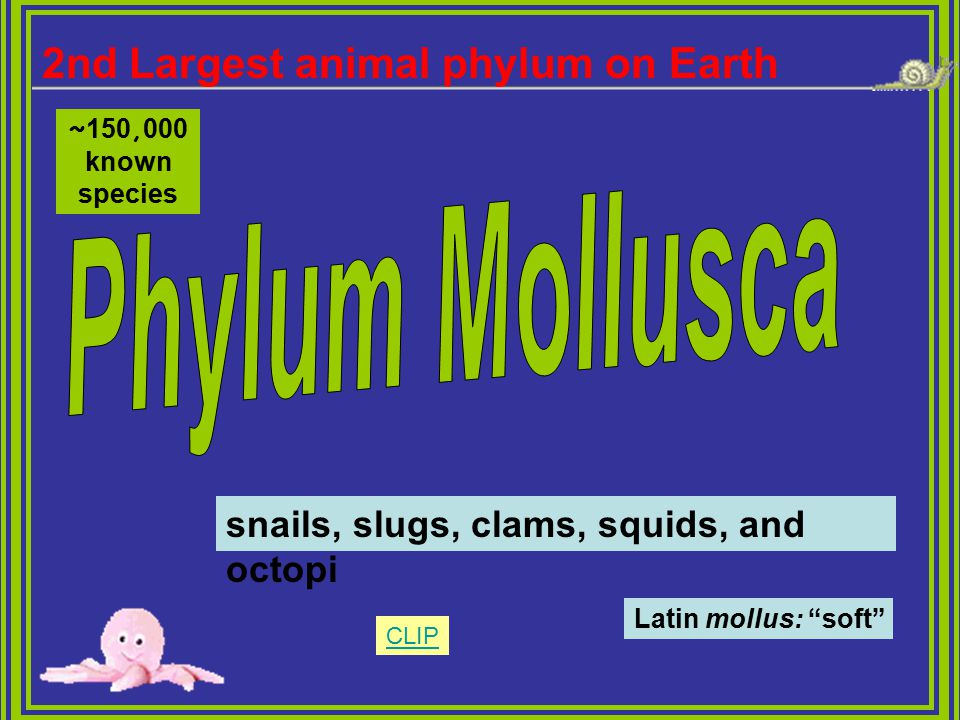"""snails, slugs, clams, squids, and octopi Latin mollus: """"soft"""" 2nd Largest animal phylum on Earth ~ 150, 000 known species CLIP"""