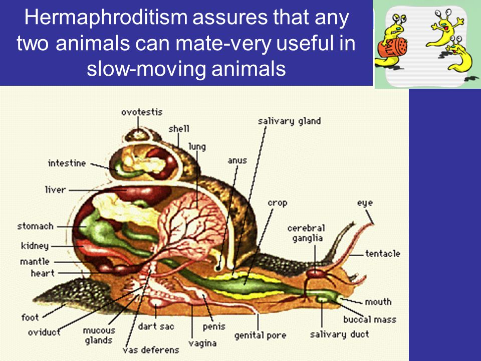 Hermaphroditism assures that any two animals can mate-very useful in slow-moving animals
