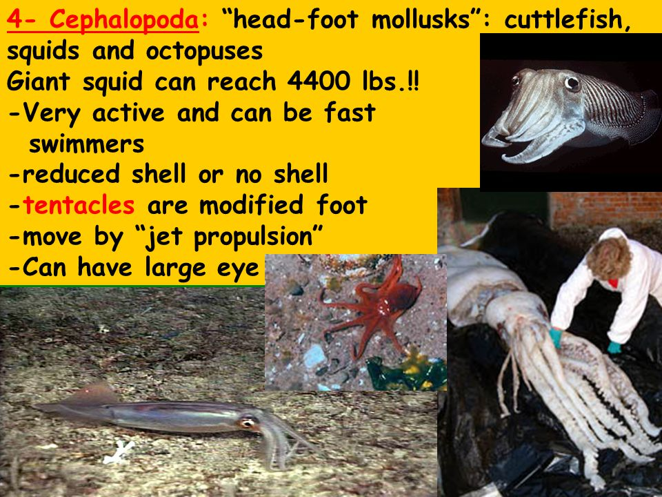 """4- Cephalopoda: """"head-foot mollusks"""": cuttlefish, squids and octopuses Giant squid can reach 4400 lbs.!! -Very active and can be fast swimmers -reduce"""