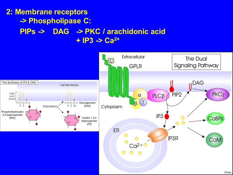 2: Membrane receptors -> Phospholipase C: PIPs -> DAG-> PKC / arachidonic acid + IP3 -> Ca 2+