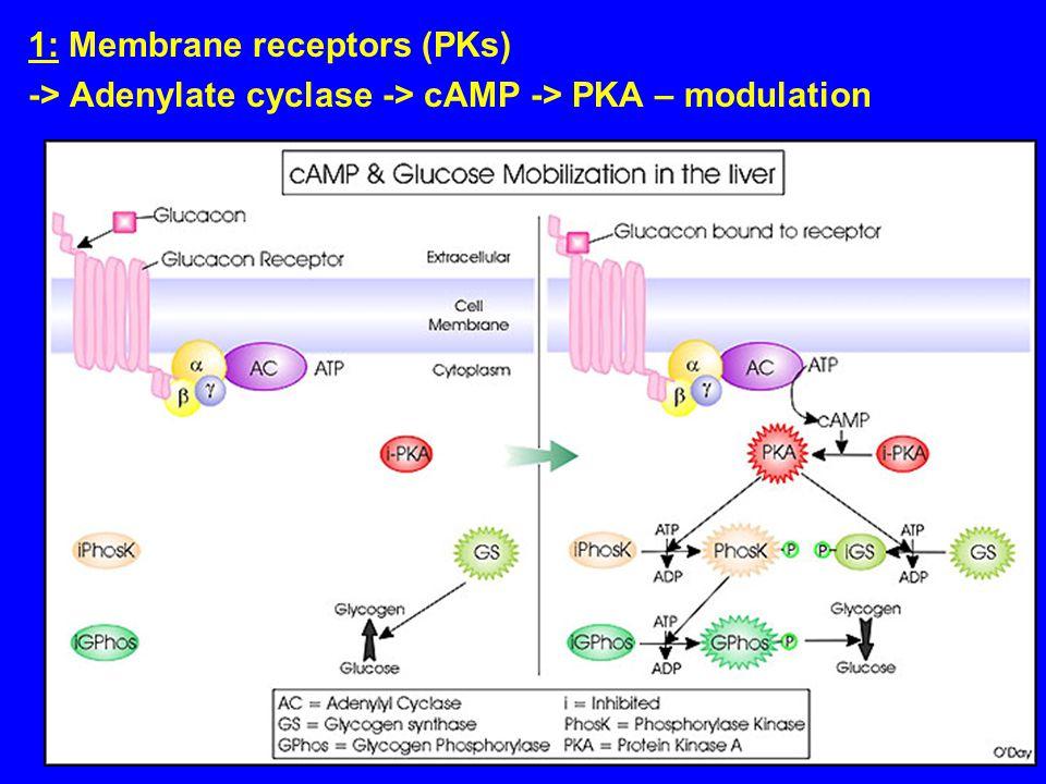 1: Membrane receptors (PKs) -> Adenylate cyclase -> cAMP -> PKA – modulation