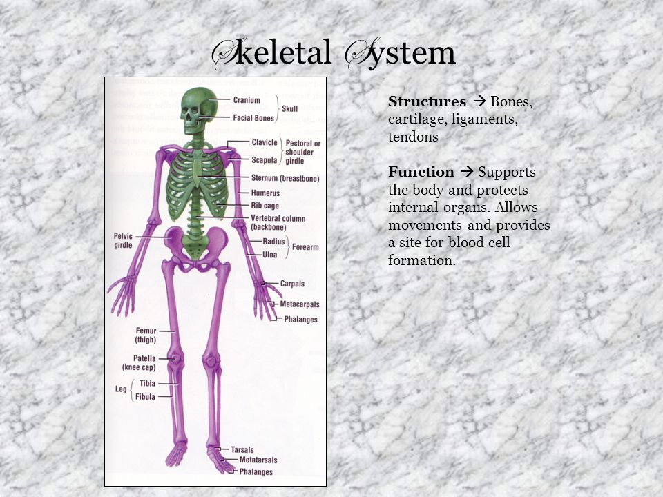 S keletal S ystem Structures  Bones, cartilage, ligaments, tendons Function  Supports the body and protects internal organs. Allows movements and pr