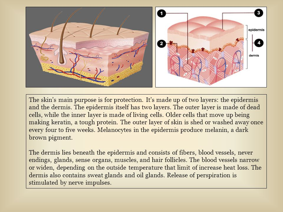 The skin's main purpose is for protection. It's made up of two layers: the epidermis and the dermis. The epidermis itself has two layers. The outer la