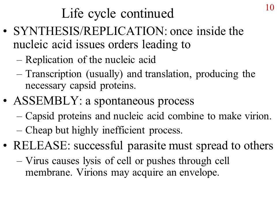 10 Life cycle continued SYNTHESIS/REPLICATION: once inside the nucleic acid issues orders leading to –Replication of the nucleic acid –Transcription (usually) and translation, producing the necessary capsid proteins.