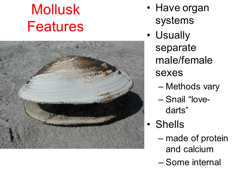 Mollusk Features Complete digestive system Bilateral symmetry Move on muscular foot 3 part body plan –A) Radula tongue-like organ to scrape food –B) Mantle Covers internal organs secretes shell –C) Ctenidia Gills to extract oxygen