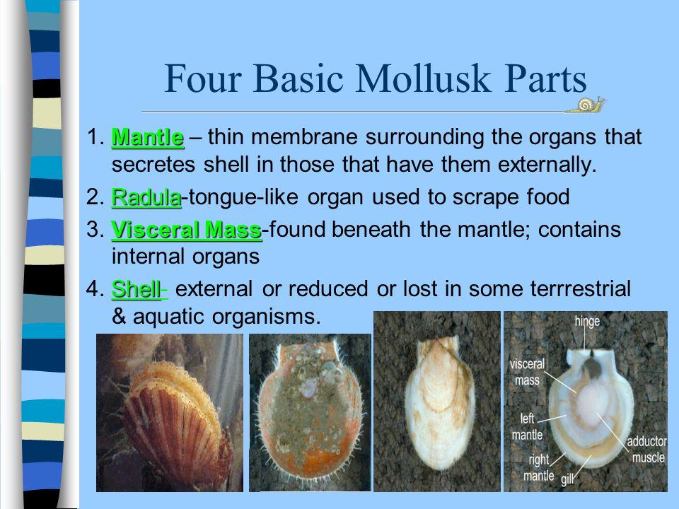 Four Basic Mollusk Parts Mantle 1.
