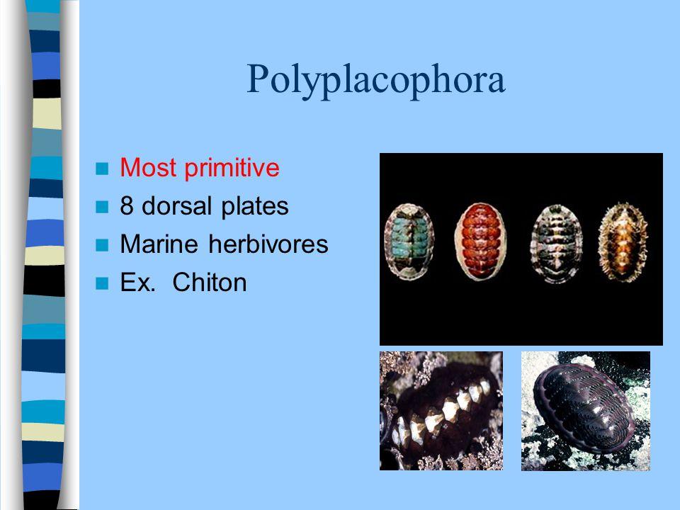 Polyplacophora Most primitive 8 dorsal plates Marine herbivores Ex. Chiton