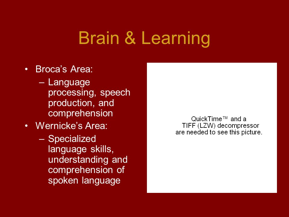 Brain & Learning Broca's Area: –Language processing, speech production, and comprehension Wernicke's Area: –Specialized language skills, understanding and comprehension of spoken language