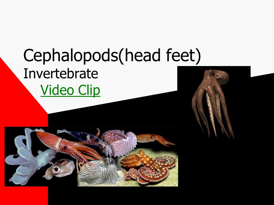 Cephalopods(head feet) Invertebrate Video ClipVideo Clip