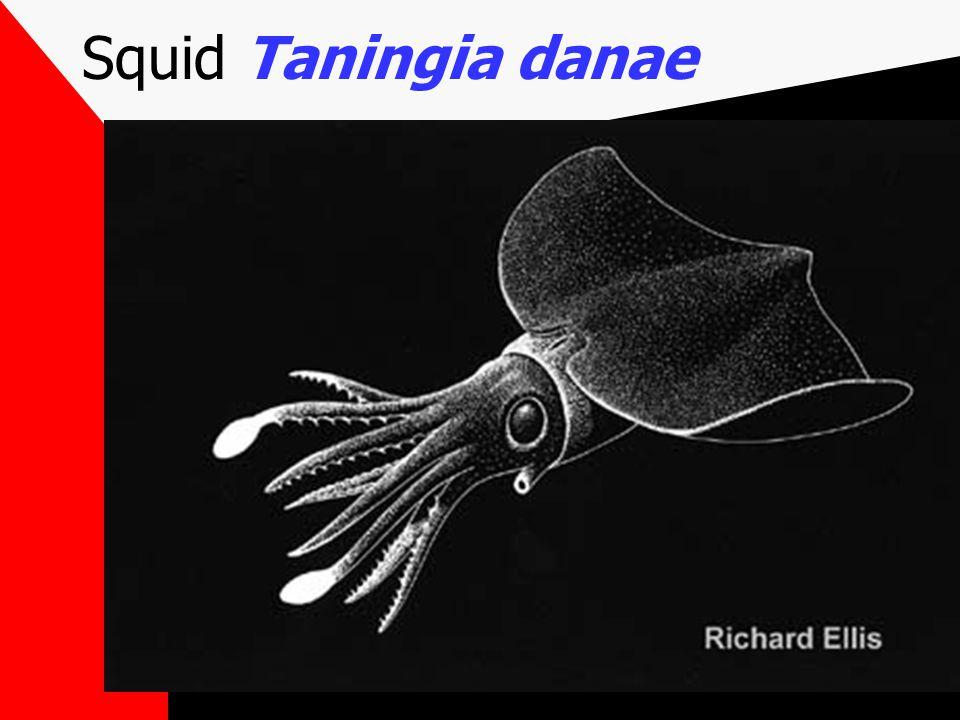 Squid Taningia danae