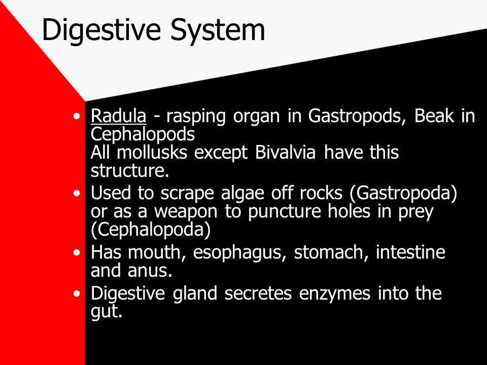 Digestive System Radula - rasping organ in Gastropods, Beak in Cephalopods All mollusks except Bivalvia have this structure.