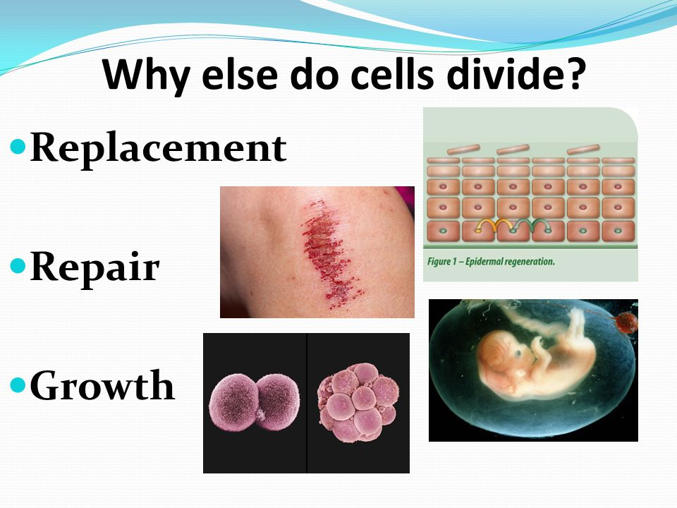 Why else do cells divide Replacement Repair Growth