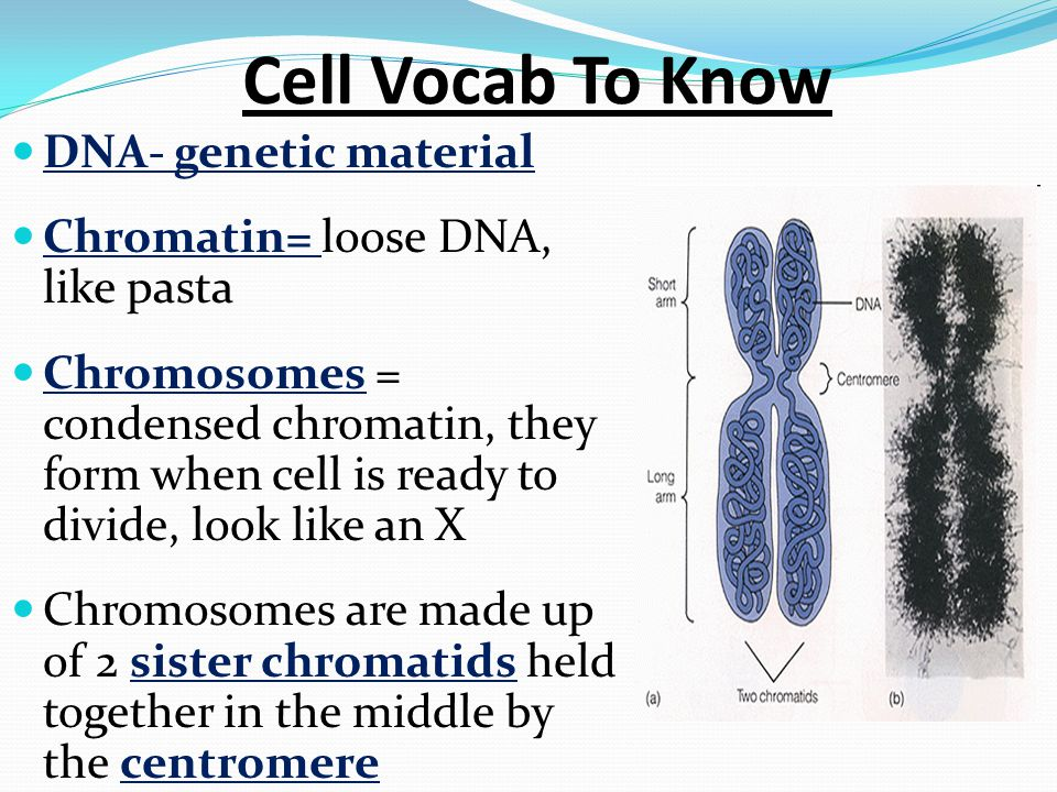 Cell Vocab To Know DNA- genetic material Chromatin= loose DNA, like pasta Chromosomes = condensed chromatin, they form when cell is ready to divide, look like an X Chromosomes are made up of 2 sister chromatids held together in the middle by the centromere