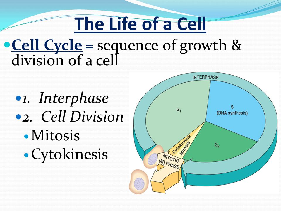 The Life of a Cell Cell Cycle = sequence of growth & division of a cell 1.