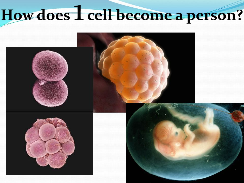 How does 1 cell become a person?