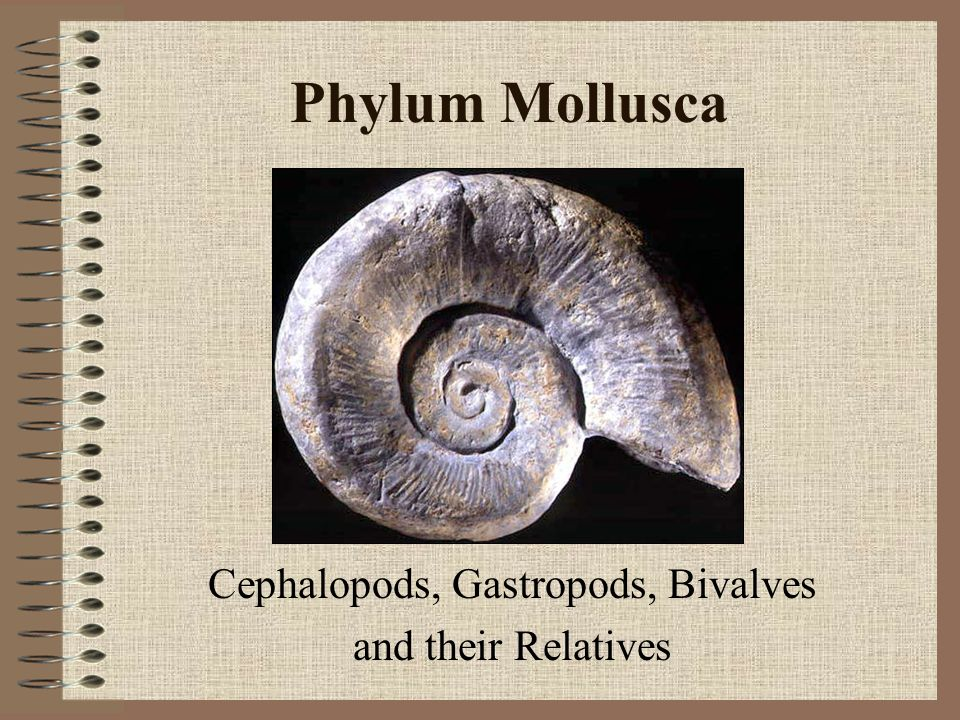 Phylum Mollusca Cephalopods, Gastropods, Bivalves and their Relatives