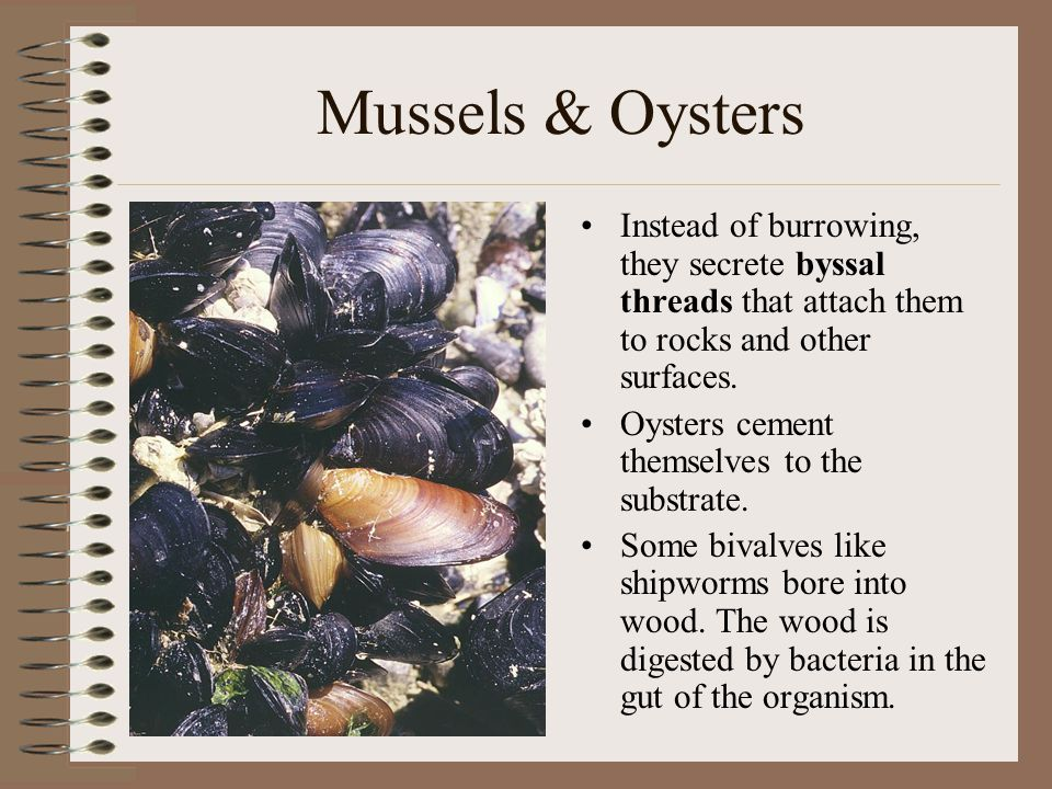 Mussels & Oysters Instead of burrowing, they secrete byssal threads that attach them to rocks and other surfaces. Oysters cement themselves to the sub
