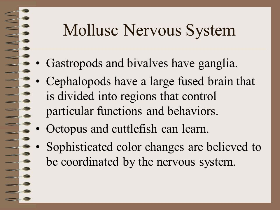 Mollusc Nervous System Gastropods and bivalves have ganglia. Cephalopods have a large fused brain that is divided into regions that control particular